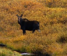 Moose in Cucumber Gulch
