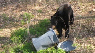 Black Bear in the trash