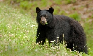 Black Bear in a field