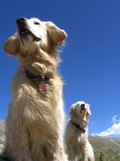Two Golden Retrievers on a Hike